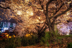 Cherry blossom trees Royalty Free Stock Images