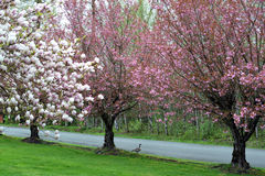 Cherry Blossom Trees - ganso de Canadá Imagens de Stock