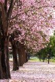 Cherry blossom trees garden Stock Image