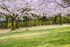 Cherry blossom trees on a green lawn. Cherry blossom trees on a fresh green lawn Stock Image