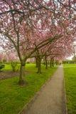 Cherry Blossom Trees i England Royaltyfri Fotografi