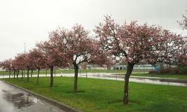 Cherry Blossom Trees i regnet Royaltyfri Bild