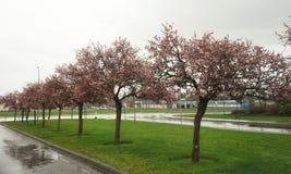 Cherry Blossom Trees im Regen Lizenzfreies Stockbild