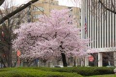 Cherry Blossom Trees, Knoppen, Bladeren Stock Foto's