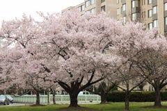 Cherry Blossom Trees, Knoppen, Bladeren Royalty-vrije Stock Foto's