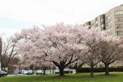 Cherry Blossom Trees, Knospen, Blätter Stockfotografie