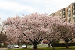 Cherry Blossom Trees, Knospen, Blätter Lizenzfreie Stockbilder