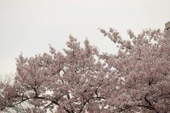 Cherry Blossom Trees, Knospen, Blätter Lizenzfreies Stockbild