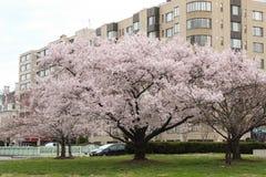 Cherry Blossom Trees, Knospen, Blätter Stockfoto