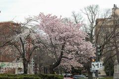 Cherry Blossom Trees, Knospen, Blätter Lizenzfreie Stockfotografie