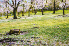 Cherry blossom trees on lawn. Cherry blossom trees on a fresh green lawn Royalty Free Stock Photography