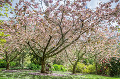 Cherry blossom trees Stock Image