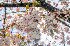 Cherry blossom trees Stock Photo