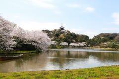 Cherry blossom in Sankeien garden stock photo