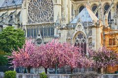 Cherry blossom trees near Notre-Dame cathedral in Paris, France Royalty Free Stock Photos