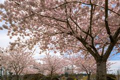 Cherry Blossom Trees in the Park in Spring. Cherry Blossom trees blooming in Village Green Park in Happy Valley Oregon during Spring season royalty free stock images