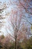 Cherry blossom trees Stock Photo