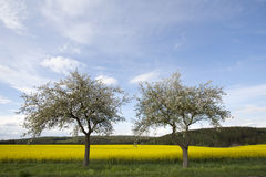 Cherry Blossom Trees and Rapeseed Field Stock Photo