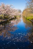 Cherry Blossom Trees Reflected in a Stream at Keukenhof. Cherry blossom trees reflected in a calm and peaceful stream at the Keukenhof Gardens near Amsterdam Stock Photos