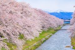 Cherry blossom trees or sakura along the bank of Funakawa River in the town of Asahi , Toyama Japan. Cherry blossom trees or sakura along the bank of Funakawa stock photography