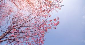 Cherry blossom trees with soft blue sky. With copy space for texts, winter season stock photography