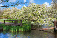 Cherry Blossom Trees in Spring Garden Royalty Free Stock Photos