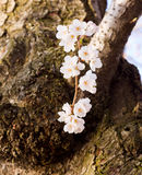 Cherry Blossom Trees by Tidal Basin Royalty Free Stock Images