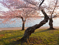 Cherry Blossom Trees by Tidal Basin Stock Photography