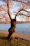 Cherry Blossom Trees by Tidal Basin Stock Images