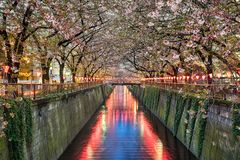 Cherry blossom trees in Tokyo, Japan Royalty Free Stock Photography