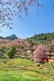 Cherry blossom trees and village Royalty Free Stock Photos