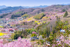 Cherry-blossom trees & x28;Sakura& x29; and many kinds of flowers in Hanam Stock Images