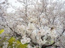 Cherry blossom tunnel and fields of yellow flowering nanohana at Kumagaya Arakawa Ryokuchi Park in Kumagaya,Saitama,Japan. Royalty Free Stock Photo