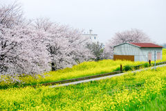 Cherry blossom tunnel and fields of yellow flowering nanohana at Kumagaya Arakawa Ryokuchi Park in Kumagaya,Saitama,Japan. Royalty Free Stock Photos