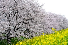 Cherry blossom tunnel and fields of yellow flowering nanohana at Kumagaya Arakawa Ryokuchi Park in Kumagaya,Saitama,Japan. Stock Image