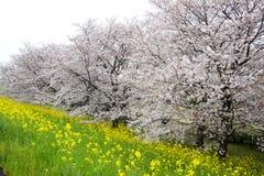 Cherry blossom tunnel and fields of yellow flowering nanohana at Kumagaya Arakawa Ryokuchi Park in Kumagaya,Saitama,Japan. Stock Photos