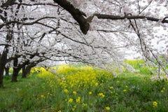 Cherry blossom tunnel and fields of yellow flowering nanohana at Kumagaya Arakawa Ryokuchi Park in Kumagaya,Saitama,Japan. Royalty Free Stock Images