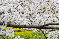 Cherry blossom tunnel and fields of yellow flowering nanohana at Kumagaya Arakawa Ryokuchi Park in Kumagaya,Saitama,Japan. Royalty Free Stock Photography