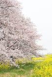 Cherry blossom tunnel and fields of yellow flowering nanohana at Kumagaya Arakawa Ryokuchi Park in Kumagaya,Saitama,Japan. Stock Photo