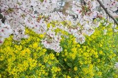 Cherry blossom tunnel and fields of yellow flowering nanohana at Kumagaya Arakawa Ryokuchi Park in Kumagaya,Saitama,Japan.Also kno Royalty Free Stock Photography