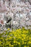 Cherry blossom tunnel and fields of yellow flowering nanohana at Kumagaya Arakawa Ryokuchi Park in Kumagaya,Saitama,Japan.Also kno Stock Images