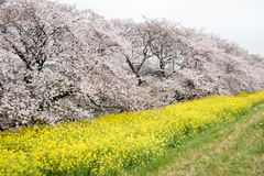 Cherry blossom tunnel and fields of yellow flowering nanohana at Kumagaya Arakawa Ryokuchi Park in Kumagaya,Saitama,Japan.Also kno Stock Photos
