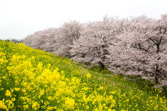 Cherry blossom tunnel and fields of yellow flowering nanohana at Kumagaya Arakawa Ryokuchi Park in Kumagaya,Saitama,Japan.Also kno Stock Image