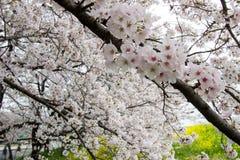 Cherry blossom tunnel and fields of yellow flowering nanohana at Kumagaya Arakawa Ryokuchi Park in Kumagaya,Saitama,Japan.Also kno Royalty Free Stock Photos