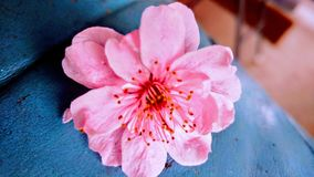 Cherry Blossom Turquoise royalty free stock photography