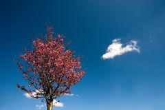 Cherry blossom under blue sky. In a shiny day Stock Images