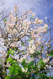 Cherry blossom under blue sky in spring time Royalty Free Stock Photos