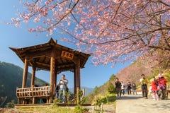 Cherry blossom under the blue sky Royalty Free Stock Photos