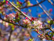 Cherry Blossom. Under the spring blue sky Royalty Free Stock Image