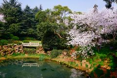Cherry Blossom valley,wuxi,china. Cherry valley,Wuxi Taihu Yuantouzhu Park Cherry Blossom valley royalty free stock image